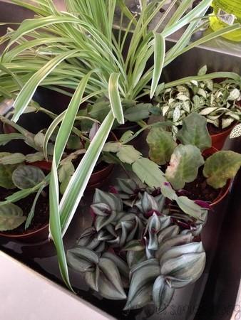 Vattning efter omplantering